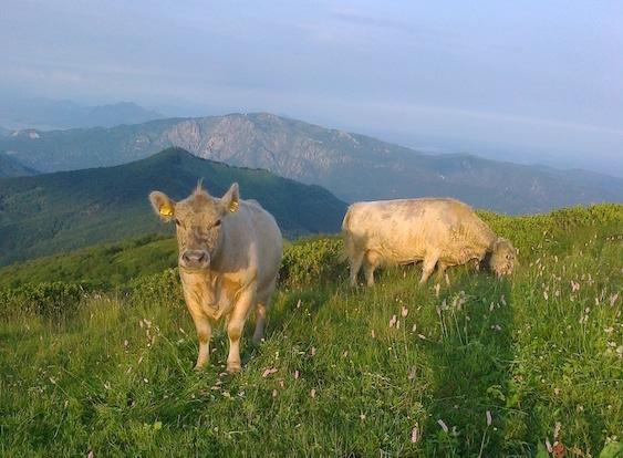 mucche-galloway-alpe-campo-fattoria-guglielminetti
