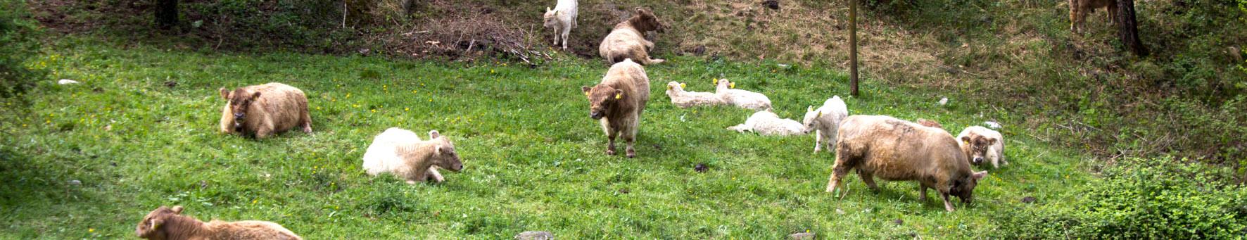 mucca-galloway-fattoria-guglielminetti-omegna