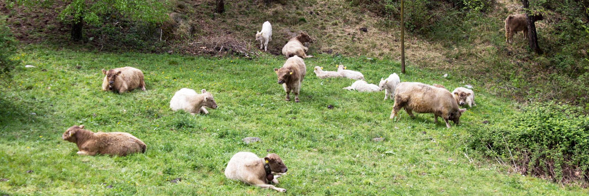 mucche galloway al pascolo